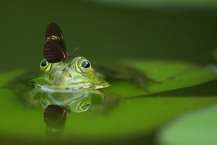 frog-540812__480